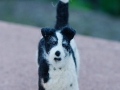Parson Russell Terrier LILLY