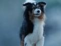 Australian Shepherd EASY