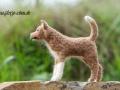 Islandhund LASKI
