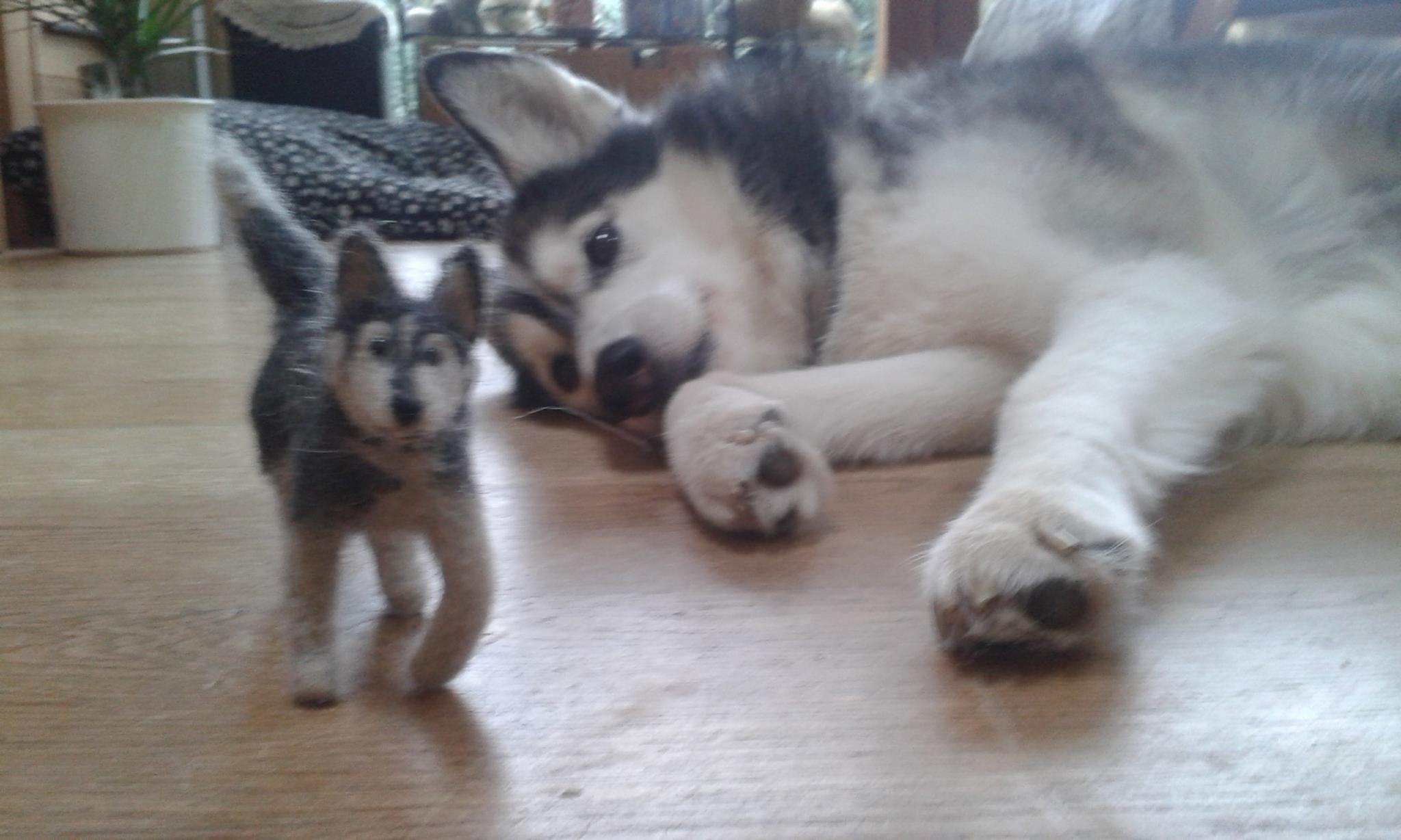 Husky-Mischling CHEYENNE